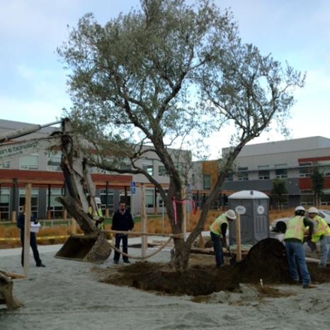 Olive tree 4